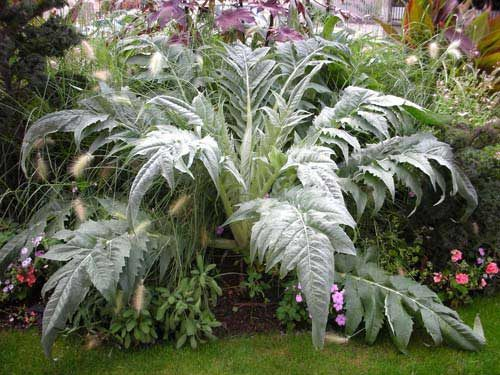 Cardoon Potted - Qty. ptd