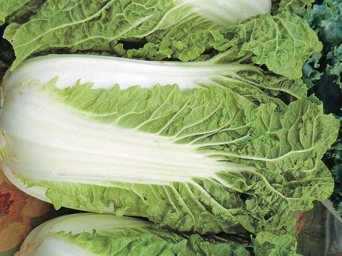 Minuet Chinese Cabbage - Qty. 500sds