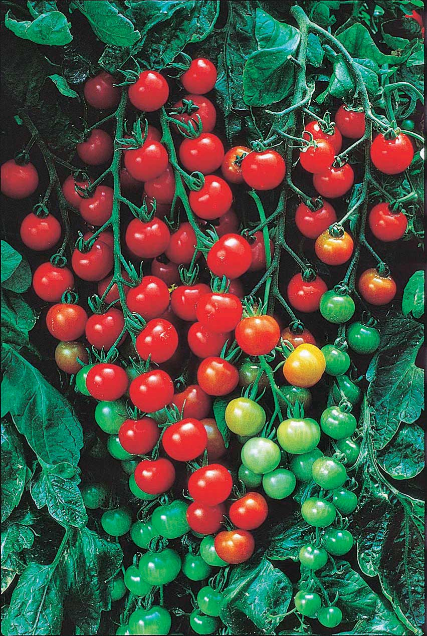 Tomato Super Sweet 100 - Qty. ptd