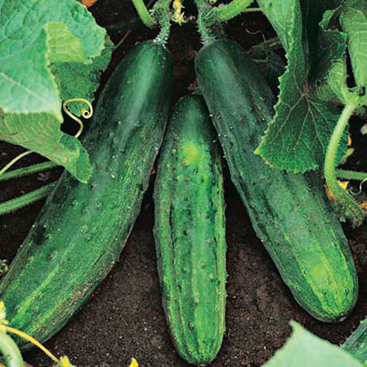 Cucumber Patio Snacker - Qty. 50 sds