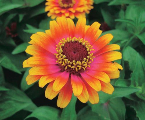Zinnia Zowie Yellow Flame - Qty. 500sds