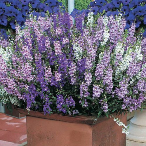 Angelonia Serena Mix - Qty. msd