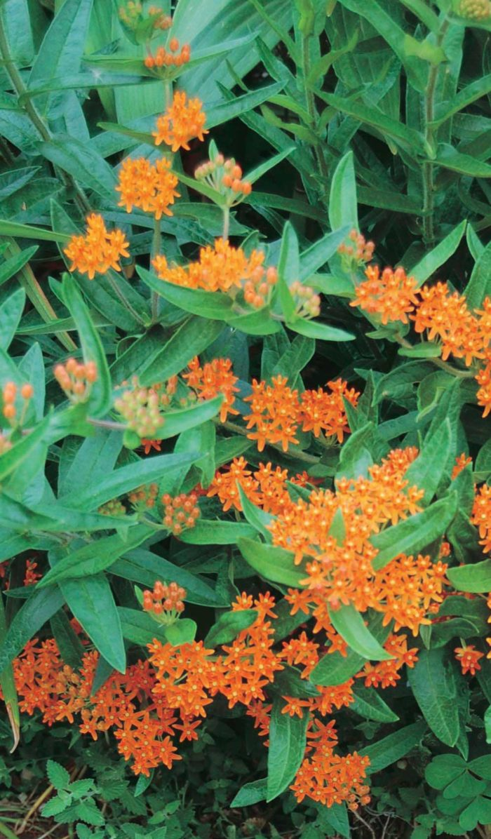Butterfly Milkweed - Qty. 200 sds